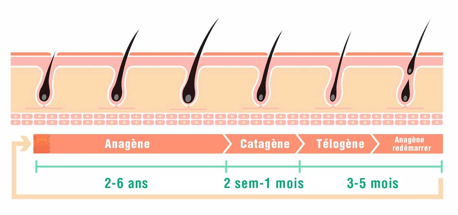 Étape de la pousse de poils